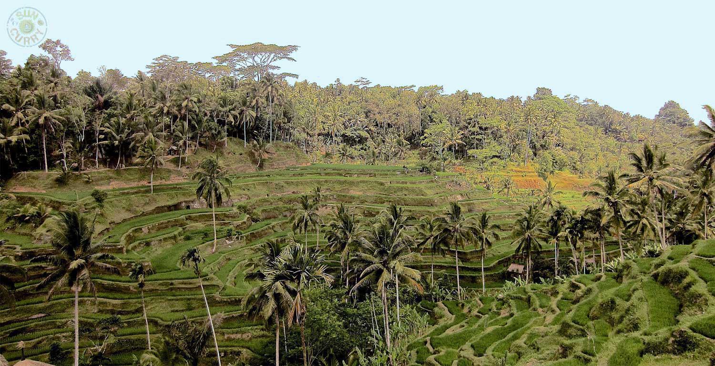 Reisterrassen auf Bali / Indosesien